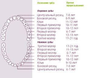 Особенности роста зубов